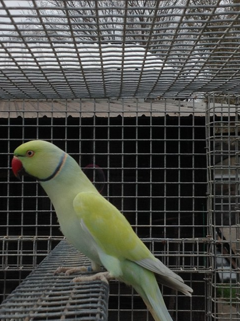 Turquoise Suffused Male