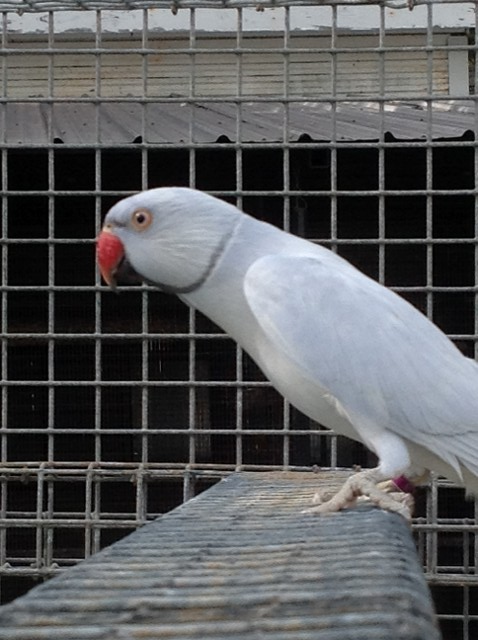 Violet Suffused Male